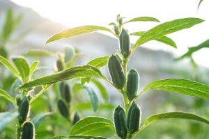 BASF investiert in Equinom Sesamsaatgut Sesam
